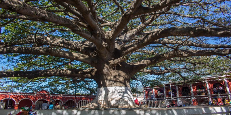Ceiba de Palín