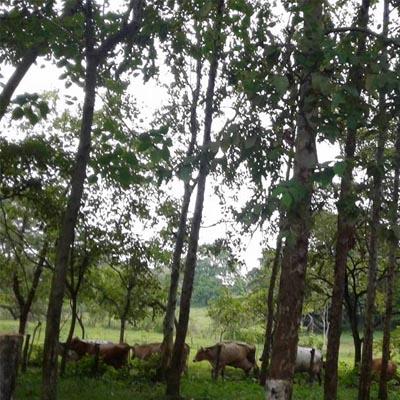 Guanagazapa-Escuintla-Ganado
