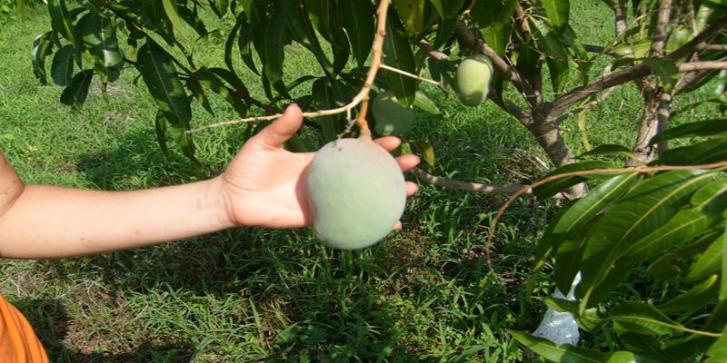 Mango-Guazacapán-Santa-Rosa-Guatemala