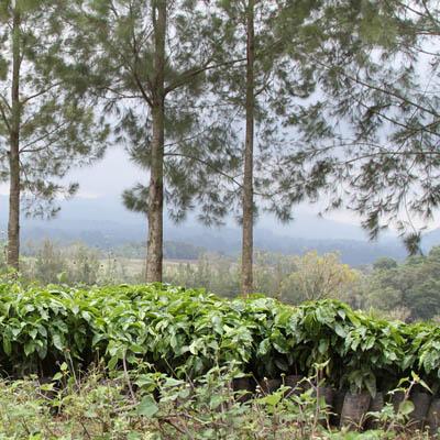 cafetales Fraijanes Guatemala