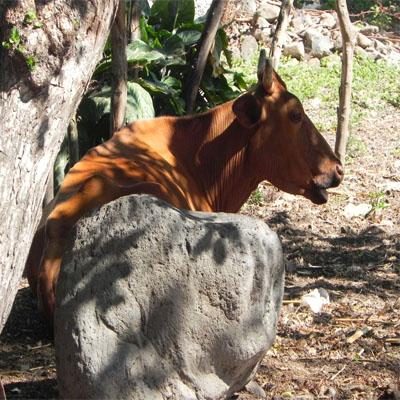ganado-asuncion-mita-jutiapa