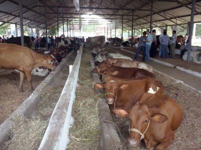 exposición de ganado en chiquimulilla