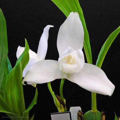 La Monja Blanca Flor Nacional De Guatemala Aprende Guatemala Com