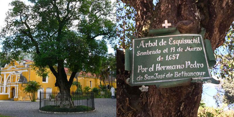 Historia del árbol del Hermano Pedro