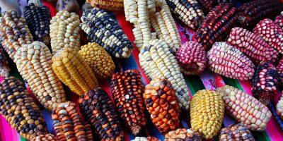 El significado de los colores del maíz en Guatemala