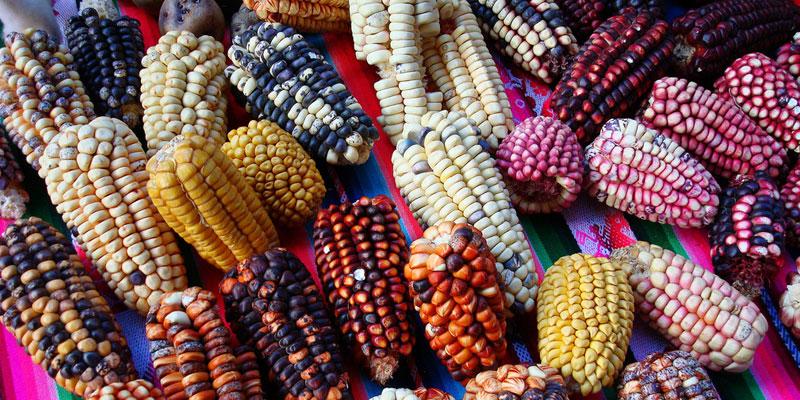 colores maiz guatemala