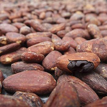 El cacao era la moneda de los mayas en Guatemala