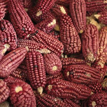 Leyendas del origen del maíz en Guatemala