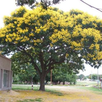 árbol Timboque en Amatitlán
