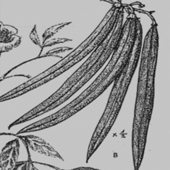 timboque amatitlán guatemala semilla