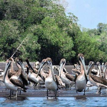 manchón guamuchal aves migratorias