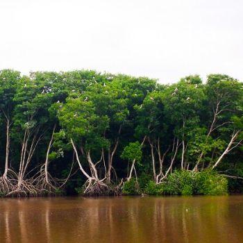 manchón guamuchal manglares