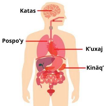 partes-cuerpo-humano-kaqchikel-idioma-maya-guatemala-organos