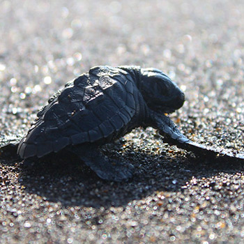 playa-hawaii-santa-rosa-guatemala-liberacion-tortugas