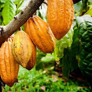 receta-magdalena-marmoleada-estilo-guatemalteco-chocolate-cacao-guatemala
