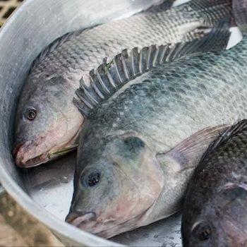 receta-mojarras-horneadas-guatemala-preparacion-pesca