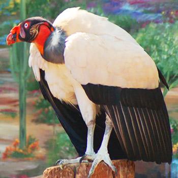 vida-silvestre-en-guatemala-buitre-rey