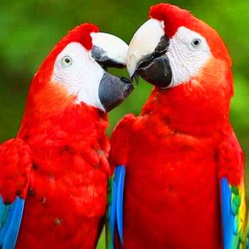 vida-silvestre-en-guatemala-guacamaya-roja