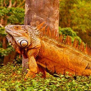 vida-silvestre-en-guatemala-iguanas