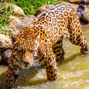 vida-silvestre-en-guatemala-jaguar