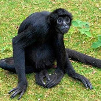 vida-silvestre-en-guatemala-mono-arana