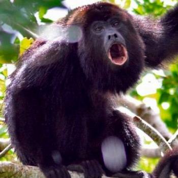 vida-silvestre-en-guatemala-mono-aullador