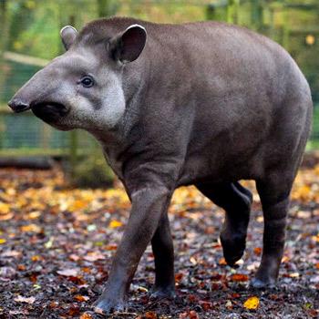 vida-silvestre-en-guatemala-tapir