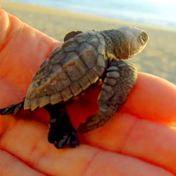 vida-silvestre-en-guatemala-tortugas-marinas