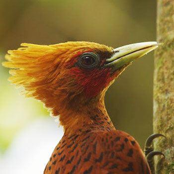 aves-parque-nacional-tikal-peten-guatemala-carpintero-elegante