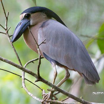 aves-parque-nacional-tikal-peten-guatemala-garza-pico-de-bota