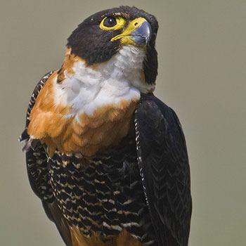 aves-parque-nacional-tikal-peten-guatemala-halcon-pechirrojo