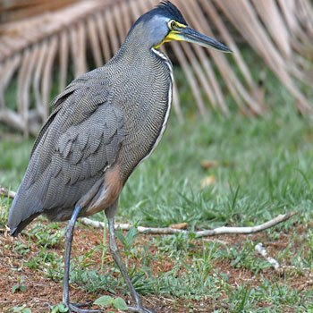 aves-parque-nacional-tikal-peten-guatemala-momoto-garza-tigre