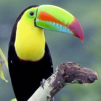 aves-parque-nacional-tikal-peten-guatemala-tucan-pico-arcoiris