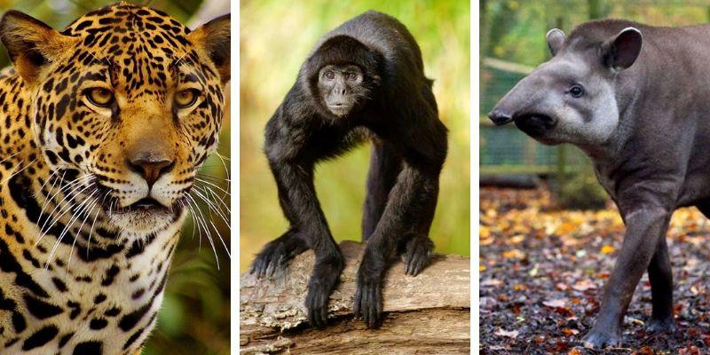 fauna-mamifera-parque-nacional-tikal-peten-guatemala