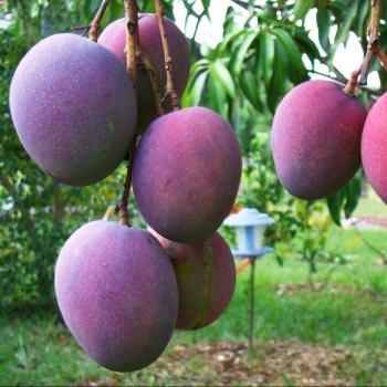 receta-fresco-de-mango-escuintla-guatemala-fruta