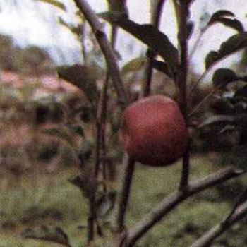 receta-licuado-manzana-colada-estilo-guatemalteco-wealthy-juarez