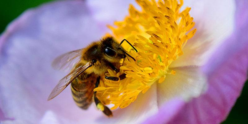 abejas-nativas-de-guatemala-especies-apifauna-apiario