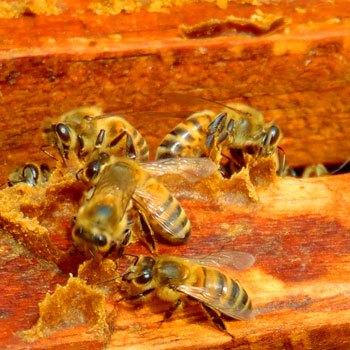 abejas-nativas-de-guatemala-especies-apifauna