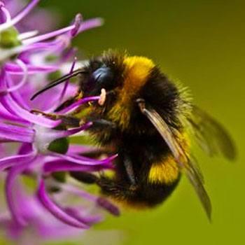abejas-nativas-de-guatemala-especies-bombini