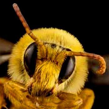 abejas-nativas-de-guatemala-especies