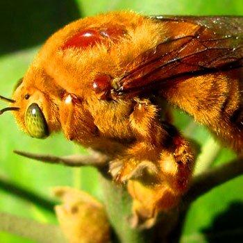 abejas-nativas-de-guatemala-especiesXylocopini