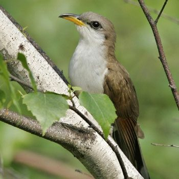 aves-migratorias-en-guatemala-cuclillo-piquinegro
