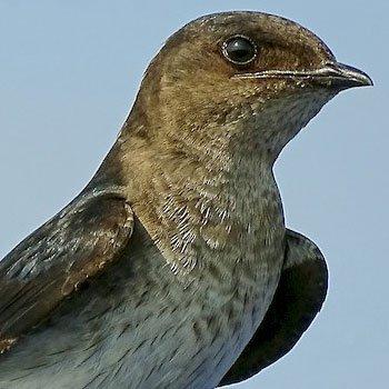 aves-migratorias-en-guatemala-golondrina-pechigris