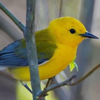 aves-migratorias-en-guatemala-reinita-protonotaria