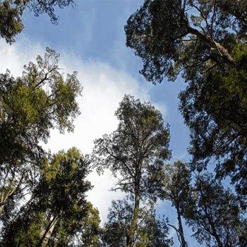 dia-del-arbol-en-guatemala-ceiba-nacional-bosques-decreto