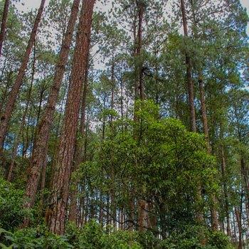 dia-del-arbol-en-guatemala-ceiba-nacional-bosques
