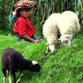 municipio-de-cajola-quetzaltenango-economia-ovejas-cultivos