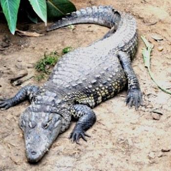 reptiles-anfibios-parque-nacional-tikal-cocodrilo-pantano-moreletti