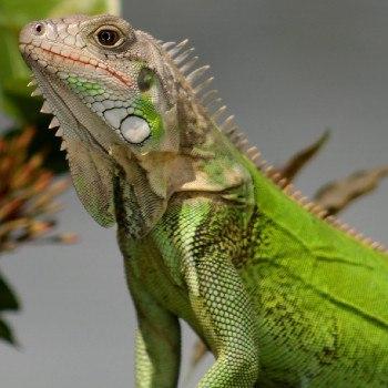 reptiles-anfibios-parque-nacional-tikal-iguana-verde