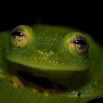 reptiles-anfibios-parque-nacional-tikal-rana